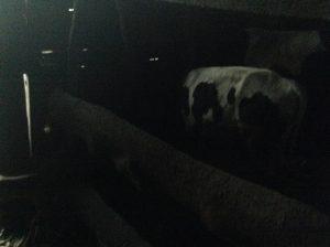 42 Cows